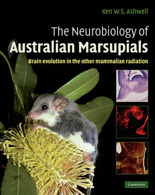 The Neurobiology of Australian Marsupials: Brain Evolution in the Other Mammalian Radiation